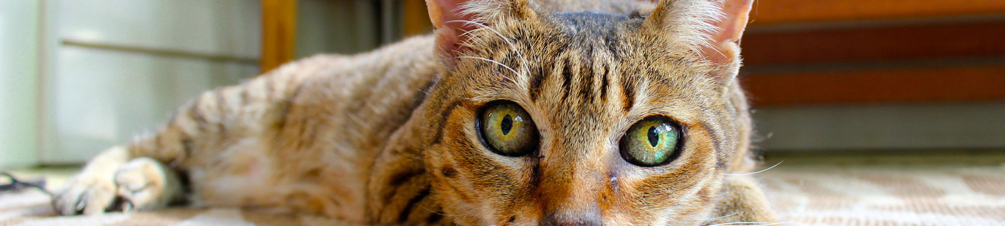 Our Guide To Kidney Disease In Cats Pet Protect