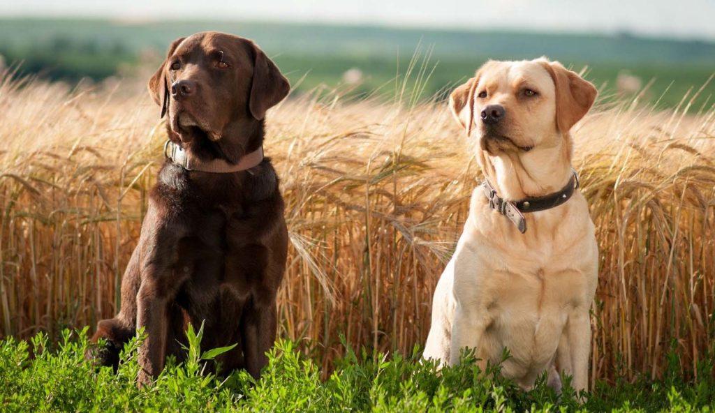 Brown & Golden Labrador Retriever